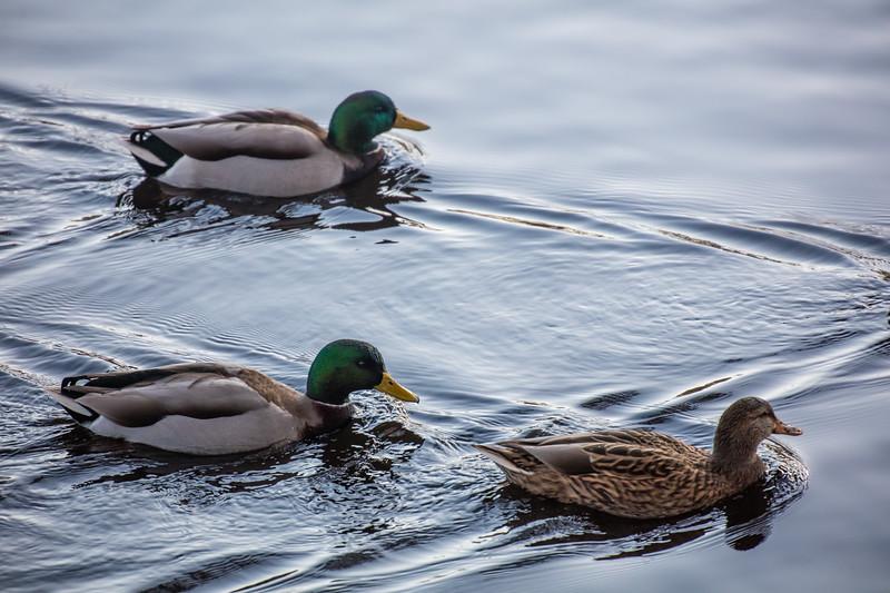 Mallard Duck Trio