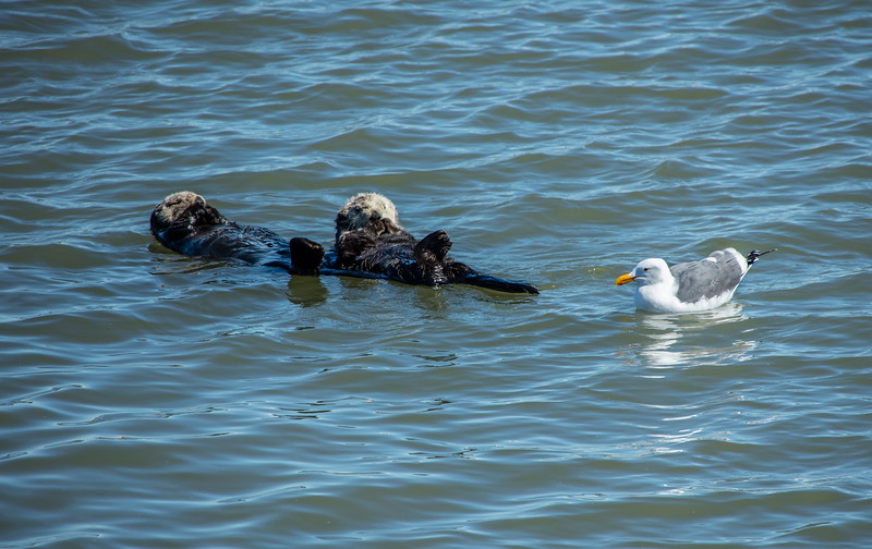 Two Otters and a Seagull