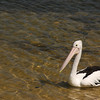 birds, wildlife, pelican, Queensland, Australia