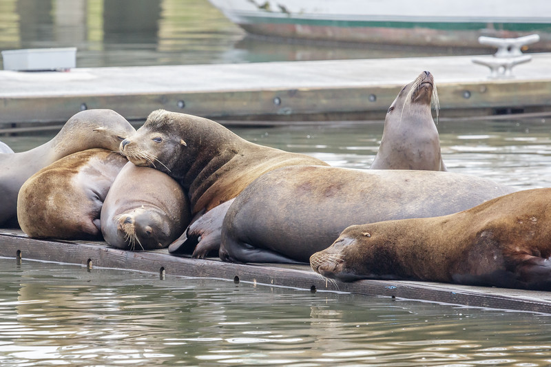 Harbor Sea Lions 2
