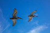 Flying Pelicans 3