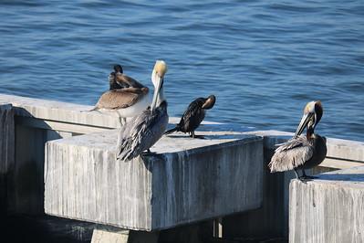 Pelicans Grooming Themselves