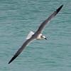 Sandpiper in Flight over the Atlantic Ocean