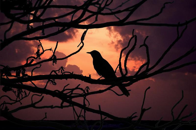 Songbird at Sunrise     Kauai,Hawaii