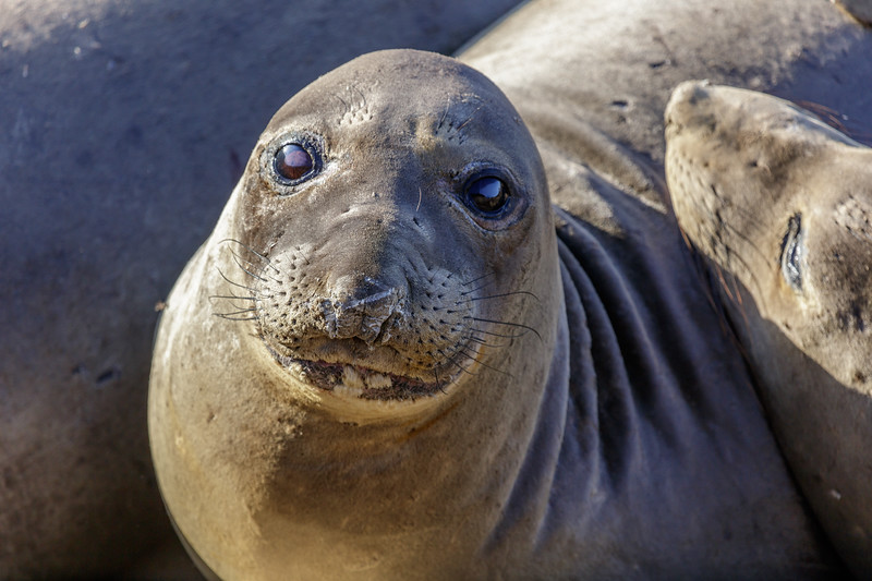 Elephant Seal Eyes