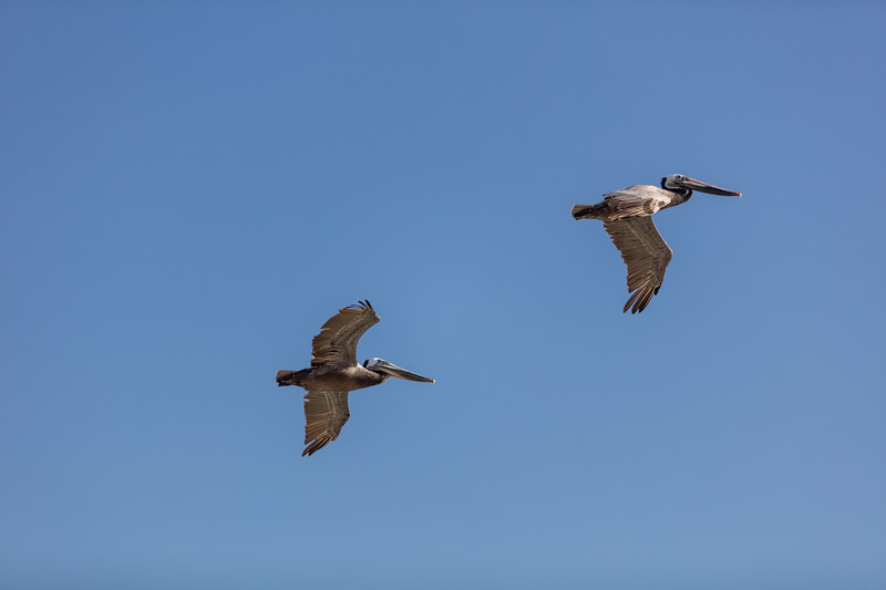 Flying Pelicans 1