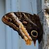 Caligo Butterfly