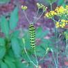 Black Swallowtail Caterpillar on Dill
