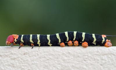 Tetrio Sphinx Caterpillar