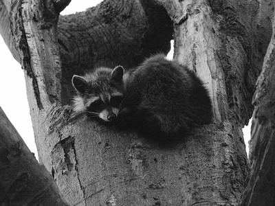Raccoon Nap