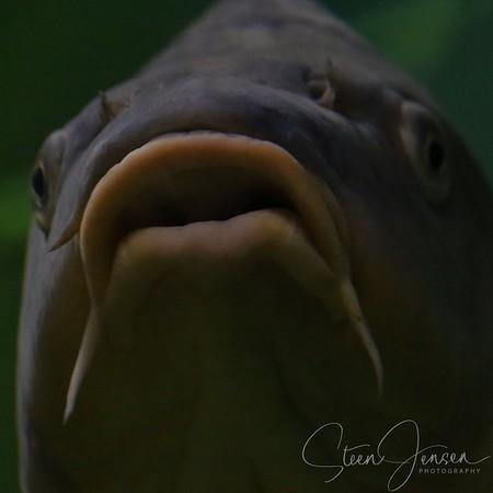 Fish - Fisk