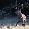 Red Deer - Kronvildt