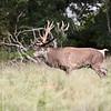 Cervidae - Deer - Kronvildt - Hjort