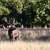 Red Deer - Kronvildt