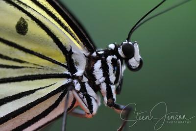 Lepidoptera - Butterfly - Sommerfugl