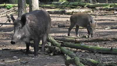 Mammalibus ;  Mammals ;  Pattedyr;