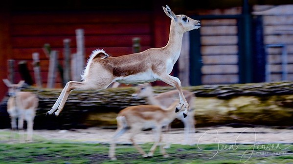 Mammalibus; Mammals; Pattedyr