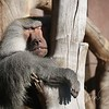 Mammalibus  ;  Mammals  ;  Pattedyr