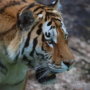 Panthera;Tiger; Lion; Store Kattedyr
