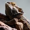 Reptilia - Reptiles - Krybdyr