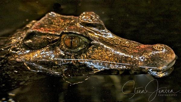 Reptiles - Krybdyr