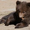 Ursidae - Bear - Bjørn