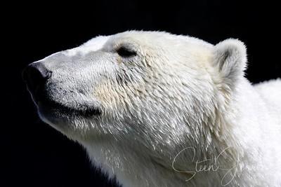 Ursidae; Bear; Bjørn;
