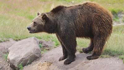 Ursidae-Bear-Bjørn