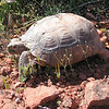 First Tortoise of 2008 (April 12)