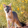 Desert Kit Fox