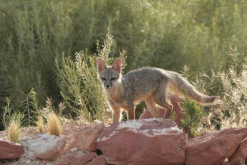 kit_fox_tds