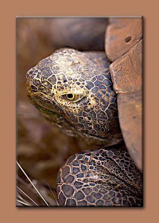 """Desert Tortoise taken 2 miles north of our home.  <a href=""""http://en.wikipedia.org/wiki/Desert_Tortoise"""">http://en.wikipedia.org/wiki/Desert_Tortoise</a>"""
