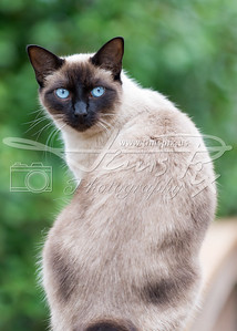 Blue Eyed Siamese Cat with green background