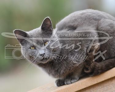 Menacing Gray Cat