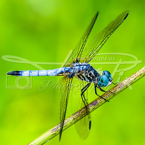 Blue Dasher resting