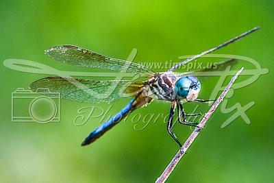 Blue Dasher Squints