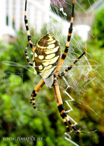 yellow and black spider.jpg