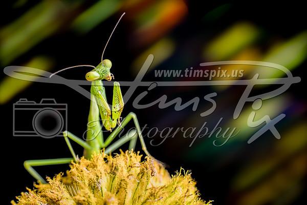 Praying Mantis on Seed Head.tif