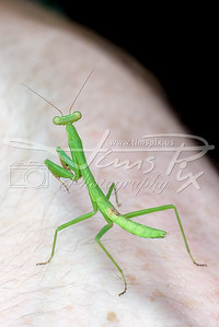 Young Praying Mantis