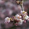 Spring in Ueno Park