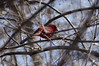 Cardinal in the branches