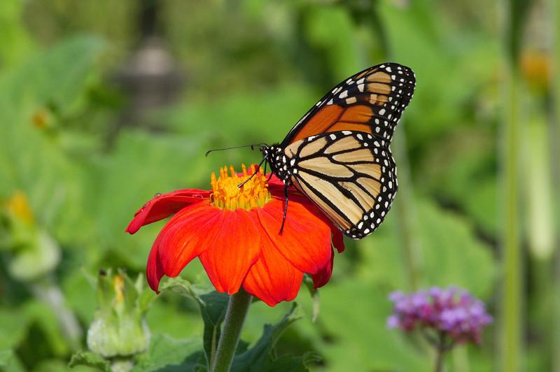 Monarch on an orange flower after the rain