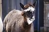 Smug llama is cooler than you.