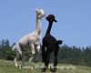 Two Alpacas Playing?