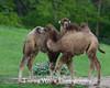 Bactrian Camels, Minnesota Zoo
