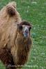 Bactrian Camel, Minnesota Zoo