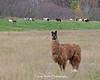 Llama (Photo #1061)