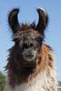 Llama (Lama glama)*