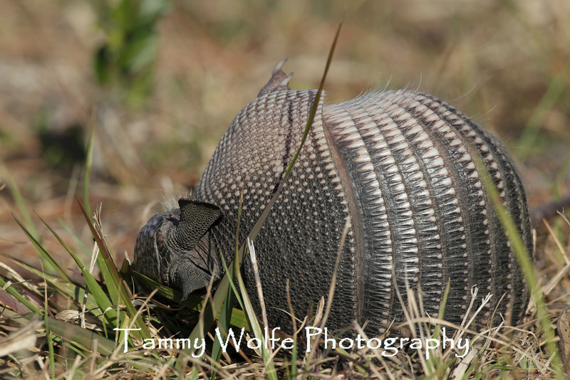 Nine-banded Armadillo (Dasypus novemcinctus) Rolling on its side