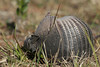 Nine-banded Armadillo (Dasypus novemcinctus) Rolling on its side